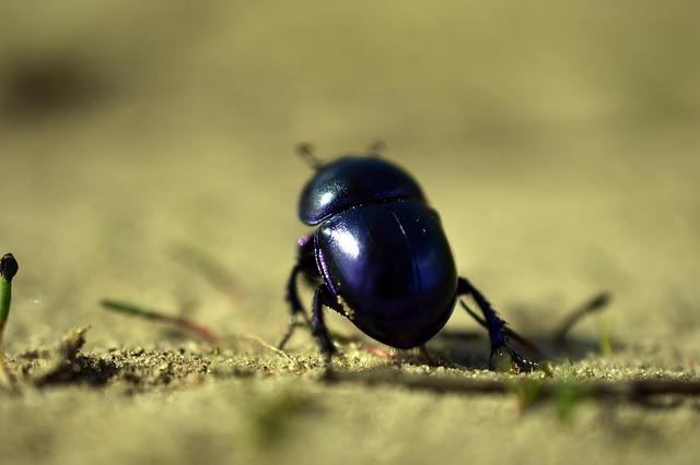 Beetle, Dung Beetle, Spring Beetle