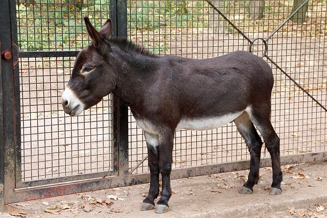 Dwarf Donkey, Donkey, Beast Of Burden, Black