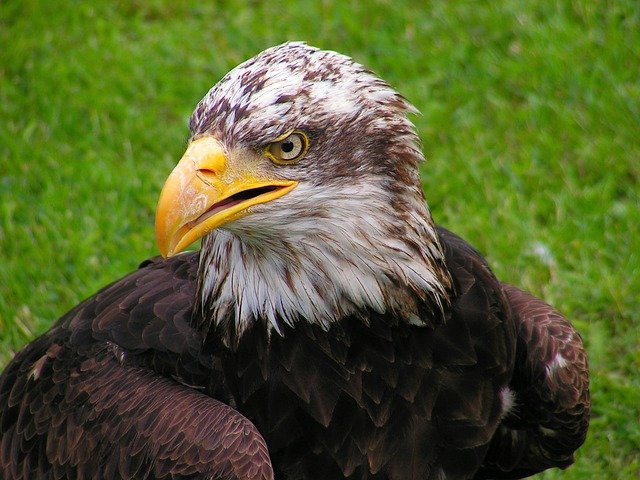 Bald Eagle, Head, Cub, Eagle, Portrait, Beak