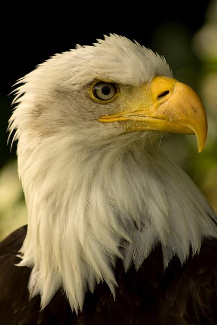 White, Headed, Eagle