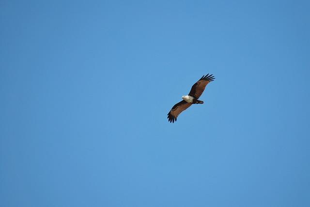 Eagle, Flying, Benaulim, Goa, Beach, Hot, Sunny