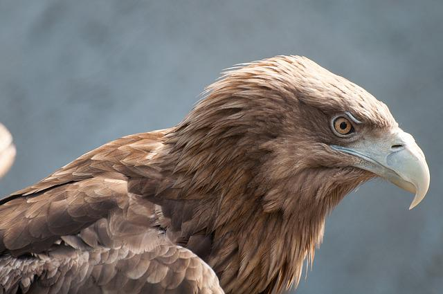 Bird Of Prey, Eagle, Bird, Living Nature, Nature
