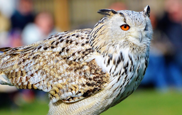 Owl, Eagle Owl, Bird Of Prey, Raptor, Wild Bird