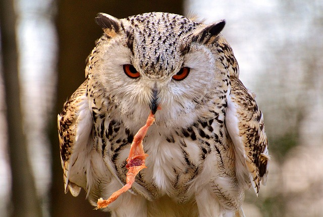 Owl, Wildpark Poing, Prey, Bird, Feather, Eagle Owl