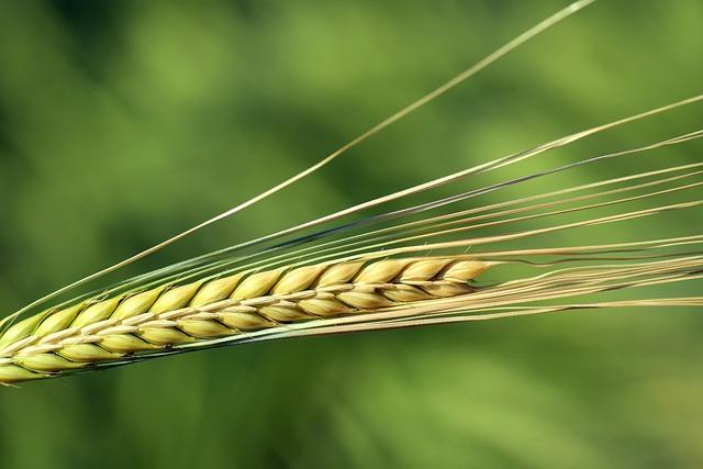 Barley, Ear, Cereals, Close, Nourishing Barley, Grain