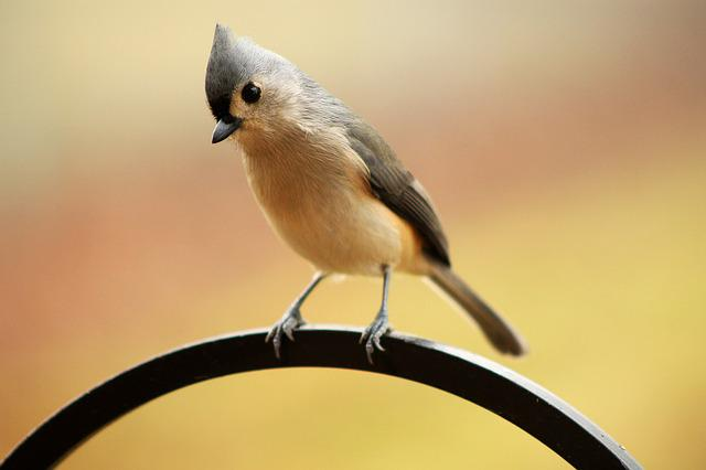 Tufted Titmouse, Crested, Bird, Early Bird, Perched