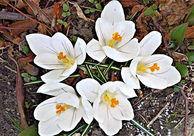 Flowers, Crocus, Early Bloomer, White Flowers