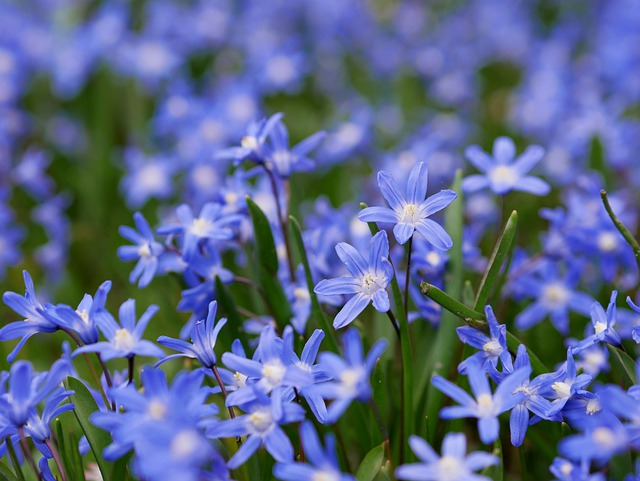 Star Hyacinth, Snow Shine, Snow Pride, Early Bloomer