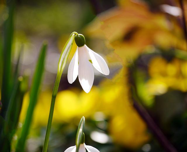 Snowdrop, Harbinger Of Spring, Early Bloomer