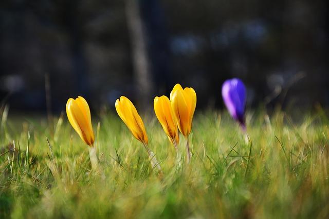 Crocus, Yellow Crocuses, Early Bloomer, Spring, Flowers