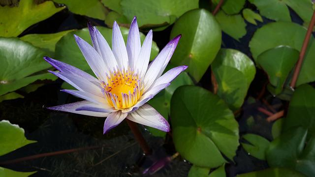 Purple 蓮, Early In The Morning, Nature, Lotus, Pond
