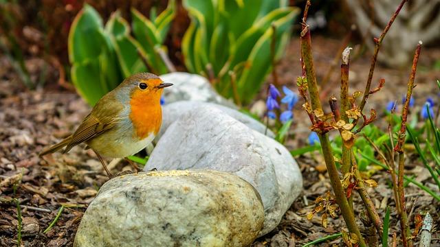 Bird, Robin, Early Risers, Singer, Songbirds, Garden