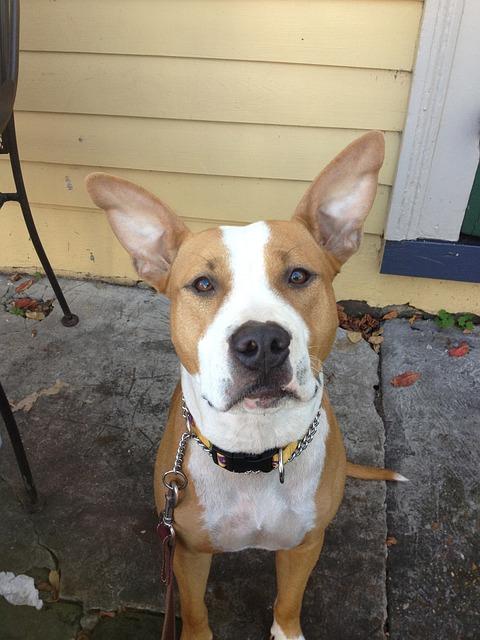 Dog, Pit Bull, Animal, Ears, Cute, Pet, Long-eared