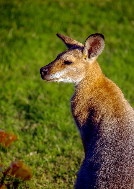 Wallaby, Rednecked Wallaby, Ears, Australia, Queensland