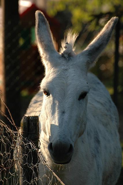 Mule, Animal, Rural, Animal World, Ears, Evening Sun