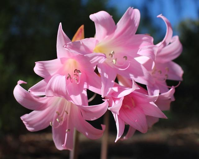 Easter Lilies, Amaryllis Belladonna, Belladonna Lilies