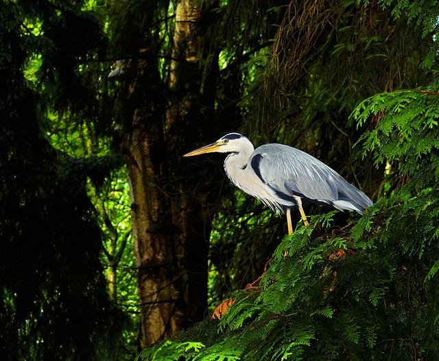 Bird, Grey Heron, Heron, Nature, Animal, Eastern