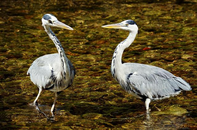 Heron, Bird, Nature, Eastern, Plumage, Animal World
