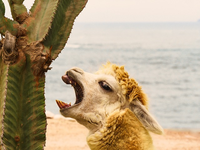 Alpaca, Cactus, Teeth, Tooth, Eat, Snout, Funny, Attack