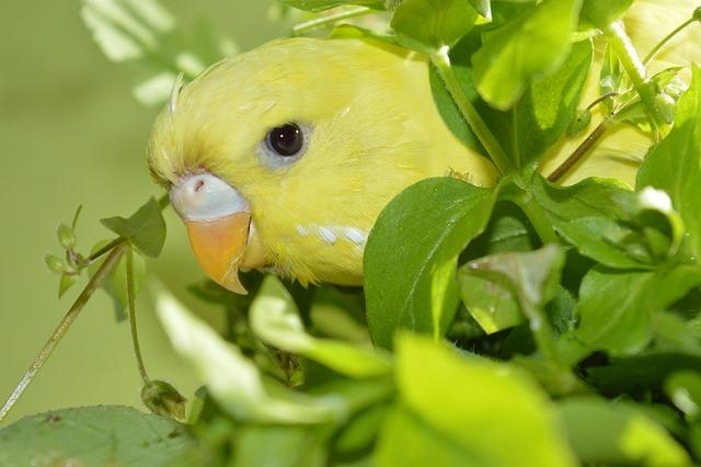 Budgie, Eat, Green, Food