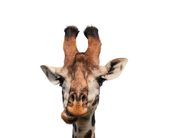 Giraffe, Head, Isolated, Eat, Chew, Funny, Fun, Mammal