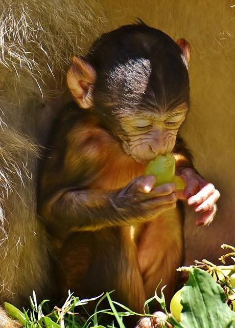 Ape, Baby Monkey, Eat, Grape, Barbary Ape