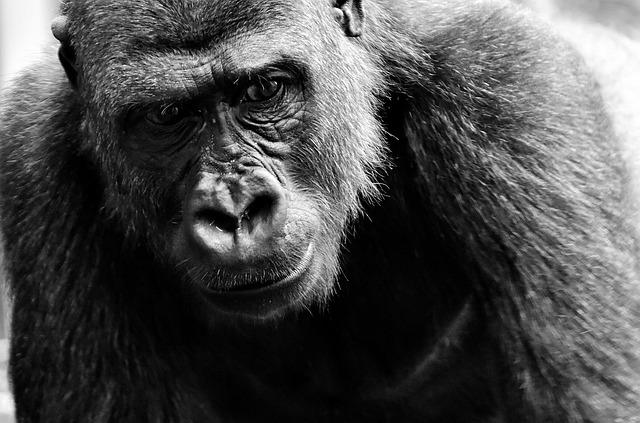 Gorilla, View, Dangerous, Zoo, Hellabrunn, Feed, Eat