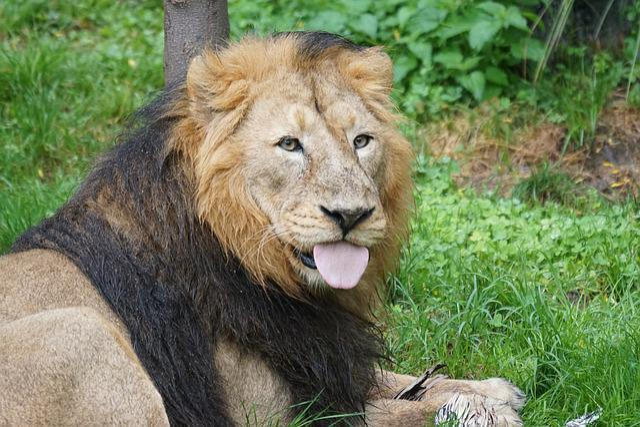 Lion, Indian Lion, Male, Cat, Predator, Mammal, Eat