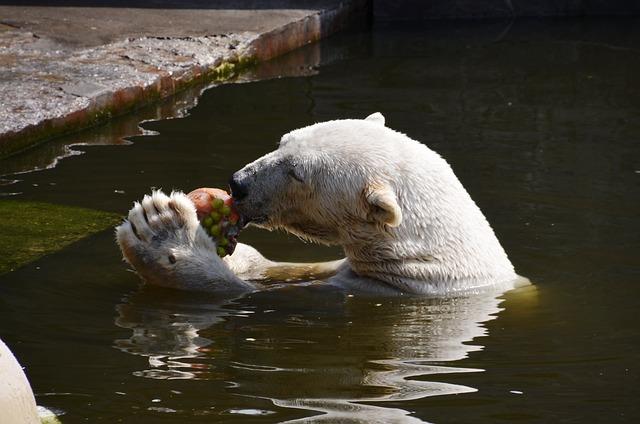 Polar Bear, Eat, Water, Ursus Maritimus, Predator Kind