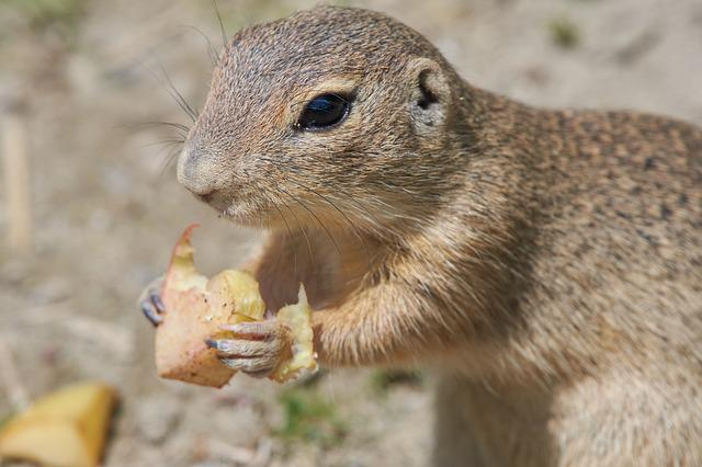 Ground Squirrel, Gophers, Eat, Rodent, Croissant