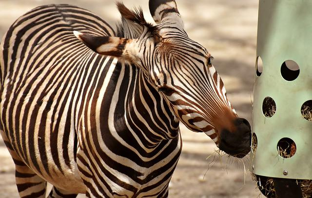 Zebra, Wild Animal, Zoo, Eat, Feeding, Africa, Animal