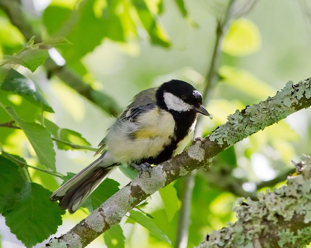 Great Tit, Nature, Bird, Tree, Food, Eating, Birch