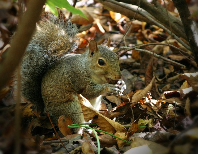 Squirrel, Eating, Nuts, Acorn, Forest, Woods, Rodent