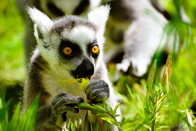 Monkey, Ring Tailed Lemur, Eats