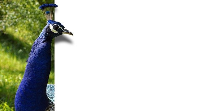 Peacock, Bird, Feather, Blue, Map, Ebv, Image Editing