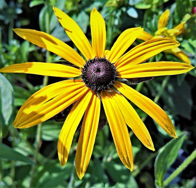 Plant, Sun Hat, Echinacea, Flower, Yellow Flowers