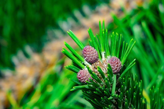 Pine, Echinacea, Plant, Fruit, Natural, Pine Cone