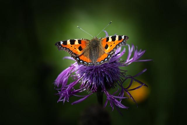 Little Fox, Butterfly, Edelfalter, Beautiful, Flower