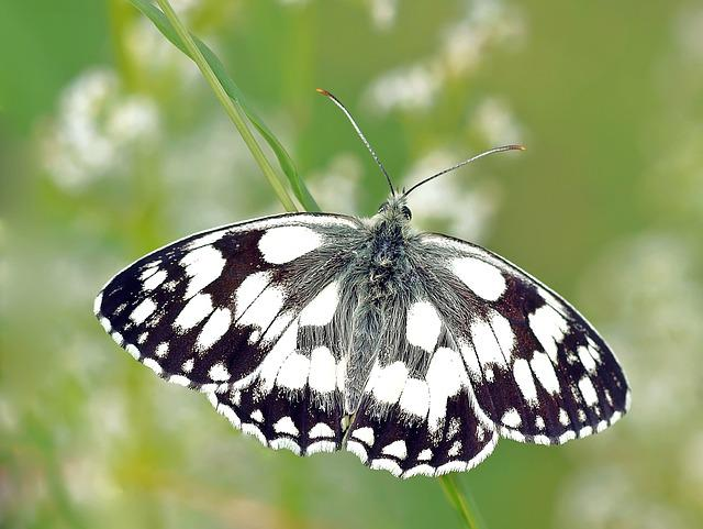 Checkered Butterfly, Edelfalter, Butterfly, Close Up