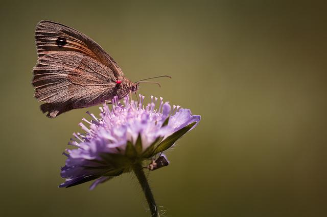 Butterfly, Meadow Brown, Edelfalter, Satyrinae, Animal
