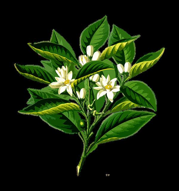 Bitter, Branch, Citrus, Edible, Floral, Flower, Food