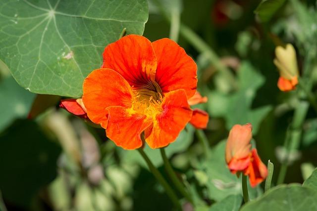 Cress, Tropaeolum, Nasturtium, Edible, Orange Blossom