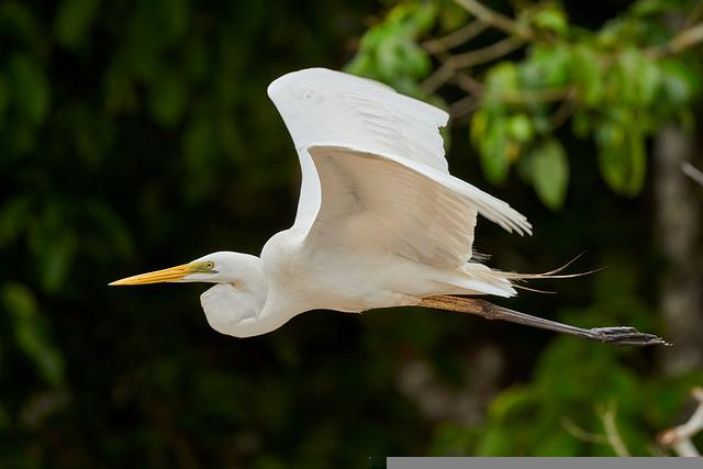 Great Egret, Heron, Bird, Fligh, Flying, Egret
