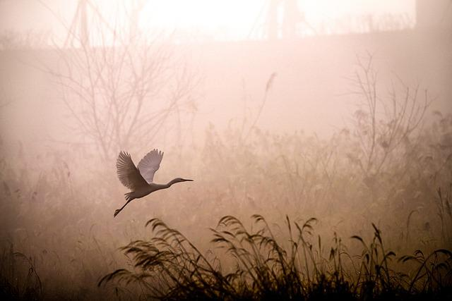 Egret, Flying, Fog, Dawn, Sunrise, Grass, Reed, Heron
