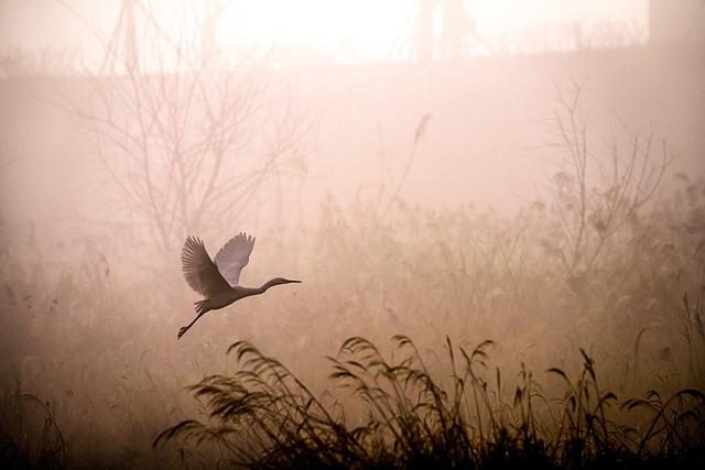 Egret, Flying, Fog, Dawn, Sunrise, Grass, Reed, Heron