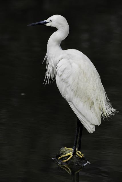 Bird, Feather, Egret, Wildlife, Heron, Animal, Beak