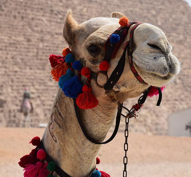 Camel, Mount, Decorated, Egypt, Animal