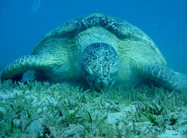 Sea ​​turtle, The Red Sea, Egypt, Marsa Mubarak