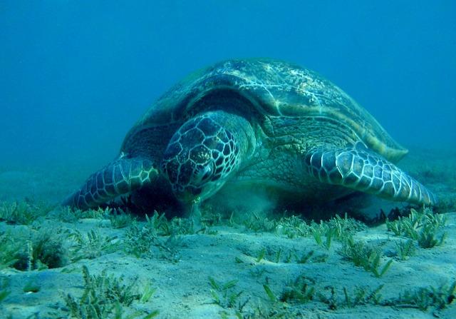 Sea turtle, Egypt, The Red Sea, Marsa Mubarak