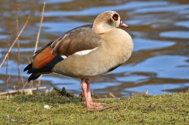 Egyptian Goose, Bird, Waterbird, Wildlife